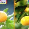 甘いおいしいみかんの見分け方【NHKためしてガッテン 1月16日】